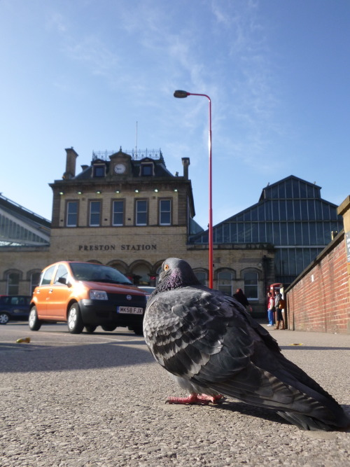 Pigeon's are getting lazy, how often do you see them waiting for trains?