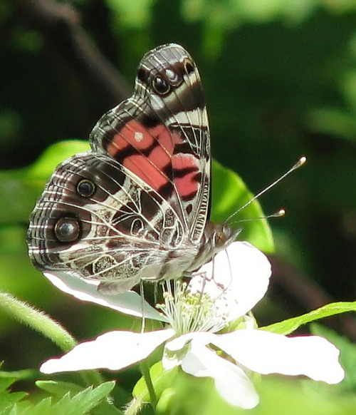American Lady on blackberry blossom by Vicki's Nature on Flickr.iainyork