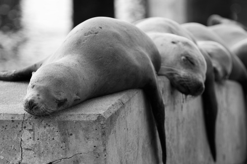 animals-animals-animals:  California Sea Lions (by StevenDavisPhoto)