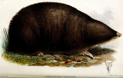 "biomedicalephemera:  Giant Golden Mole - Chrysochloris trevelyani [now Chrysospalax trevelyani] If there were ever a mammal worthy of being given the common name of ""Blorp"", this would be it. But no, they get to be called the ""giant golden mole"", despite not being all that giant, or all that golden. I'm still calling them Blorps. These pudgers are ancient, mostly-desert-dwelling Gondwanan creatures which are remarkably well adapted to climates with significant thermal shifts. During times of extreme heat or cold, their bodies can go into a state of torpor, almost stalling their basal metabolism rate, and completely turning off their internal thermoregulation until the temperature returns to a more amicable range. The family of golden moles, Chrysochloridae, is not related to the ""true moles"" (Talpidae), but get their common name from their similar appearance, which developed through convergent evolution. Most scientists agree that the golden moles are more closely related to hedgehogs and shrews than to true moles, though some theories group them with the tenrecs. Until full genetic profiles are established for the Insectivoridae, we probably won't have a definitive answer. Proceedings of the Zoological Society of London. 1875."