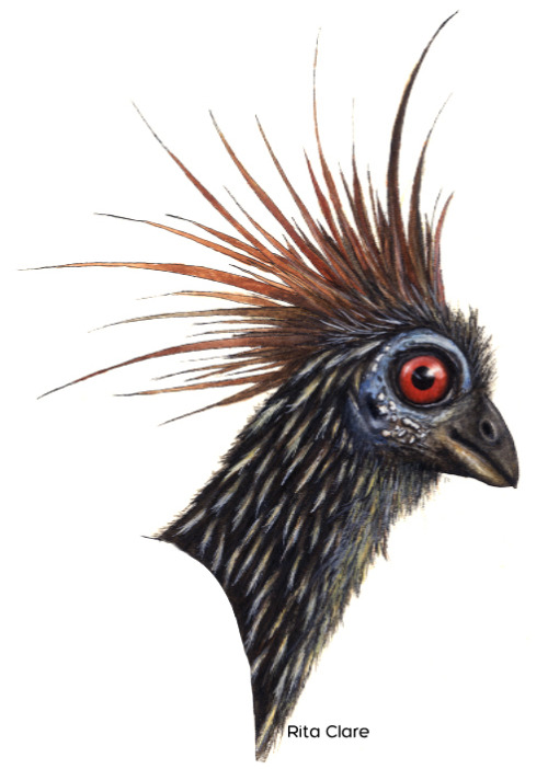 sunday-5:  Hoatzin Pen and ink with watercolor/gouache A painting I never finished in high school. I did the head, and was so afraid that the body wouldn't turn out as good, that I just gave up.