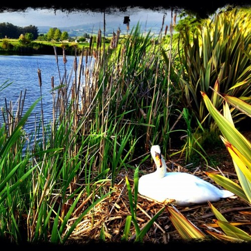Mama Swan on nest.  (at Rooster Run Golf Club)