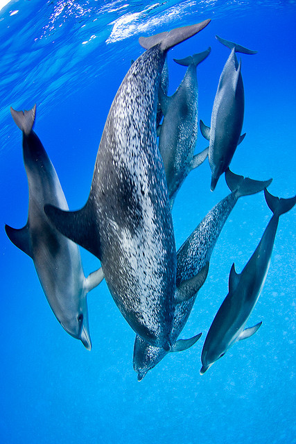 marinemammalblog:  Dolphins Dance Troupe by Jaw's Dad on Flickr.