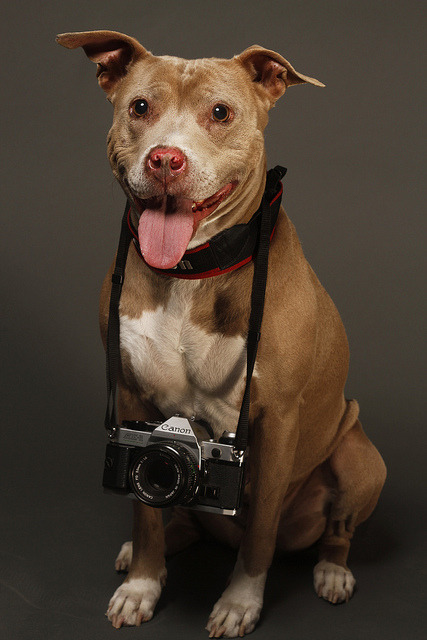 nashvillewhoring:  therealpitbull:  Photographer's Dog by Andrew Yun Photography on Flickr.  Cute. As. Fuck.
