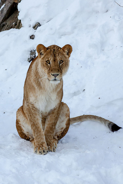 theanimaleffect:  Lion in the snow by Bent Tranberg on Flickr.