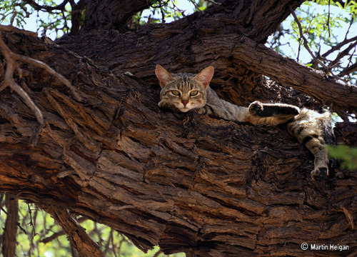 magicalnaturetour:  African Wildcat by Martin_Heigan on Flickr.