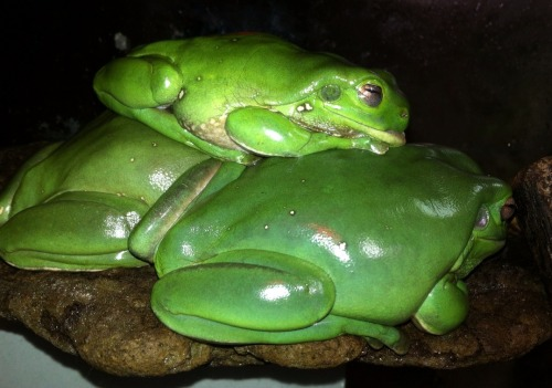 stickyfrogs:  Tiny frog gets all the comfiest sleeping spots! Not one but two squishy frog pillows!