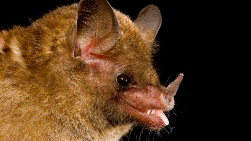 "This Bat Knows How To Drink ""In the latest issue of the Proceedings of the National Academy of Sciences,a team describes one species of bat's particularly elaborate nectar-scooping tongue. Pallas's long-tongued bats live in Central and South America. They're roughly 2 inches long, and they spend their nights going from flower to flower. And each bat has a tongue about twice as long as its head."""