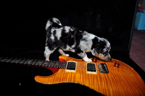 Paul Reed Smith Custom 22. Warning - Most models do NOT come with puppy. We must admit we're going for the 'Aaaawwwww' factor here a bit in this post from Hypa, with this lovely looking PRS provoking a great degree of interest in the wee fella there…
