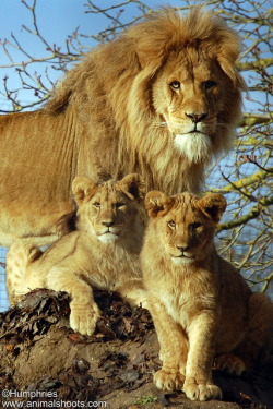 Linton Zoo: Lion and Cubs by —CWH— on Flickr.
