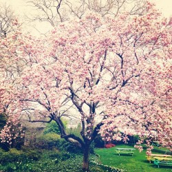 #magnolias are in full bloom in #nyc! #spring (at Gracie Mansion)