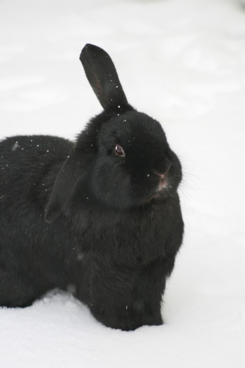 dailybunny:  Snowflakes Show Up on This Bunny's Fur Thanks, Cat!