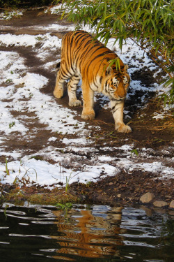 travelnaturelandscapes:  Tiger. (by: TeryKats)