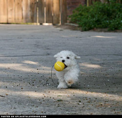 A cute and tiny puppy with his ball, strutin' his stuff For more cute dogs and puppies