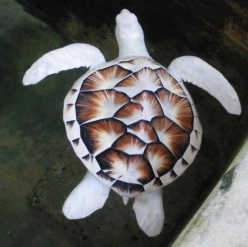 rhamphotheca:  A rare albino green sea turtle (Chelonia mydas) swims in a tank at the Sea Turtle Reserve Centre in Kosgoda, Sri Lanka. The centre collects turtle eggs from the beaches for hatching before poachers remove them as they are considered a delicacy. Once hatched the small turtles are let free in the sea. (2010) (Picture: EPA)                               (via: Telegraph UK)
