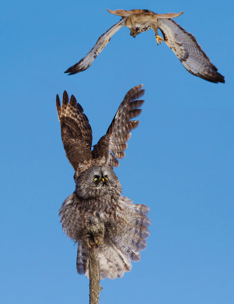 theanimalblog:  A great grey owl reacts to being buzzed by a swooping red-tailed hawk. Wildlife photographer Mircea Costina captured the scene north of Montreal last month.  Picture: Mircea Costina/Rex Features