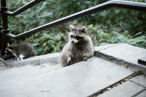 canon ae-1 35mm photography montreal belvedere raccoon nature
