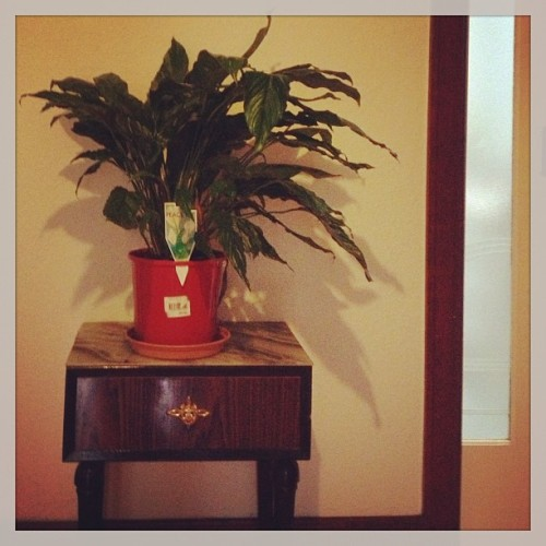 Peace lily, hallway (indoor jungle 1)