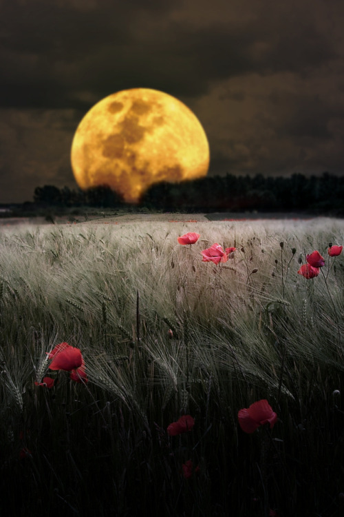 xrizeis:  moon over the poppy field