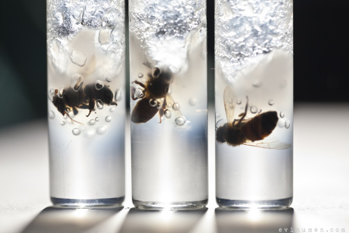 Trio of bees preserved in alcohol gel.
