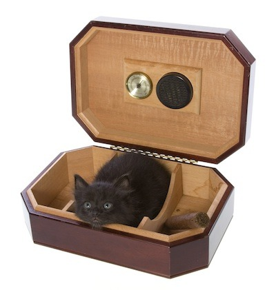 Aww it's a wittle tiddy in a cigar box! So damn cute! Look at that little face, don't you just hate it?! It's terrible! It's a crime! Arrest this kitten, it's breaking the law of cute!
