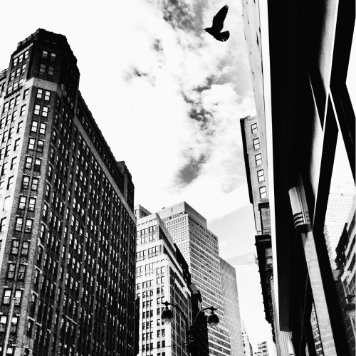 "New York City skyscrapers and a bird. Midtown.   Birds have a synchronous relationship with the city.   They fly with such brazen freedom through the man-made caverns soaring above the frenetic flow of the city below.   —-  View this photo larger and on black on my Google Plus page  —-  Buy ""Synchronicity - Bird and Skyscrapers - New York City"" Posters and Prints here, email me, or ask for help."