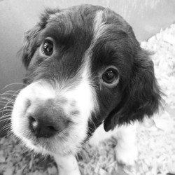 shmellenmeetsworld:  🐶🐶🐶🐶 #puppy #spaniel #cuteasabutton #canihaveit @chloebeee (at Zany Zoo)
