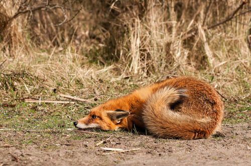 theanimalblog:  Scared Fox. Photo by Rob_Janne