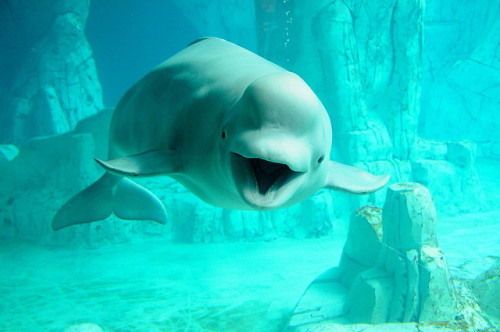 theanimalblog:  Beluga Whale. Photo by Bart Coessens  cute☆*:.。. o(≧▽≦)o .。.:*☆