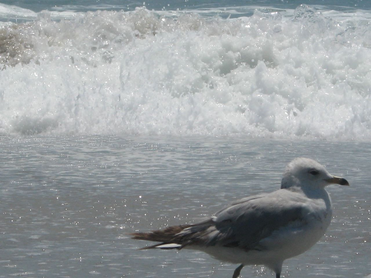 """Seagull By The Seafoam In 2012"""
