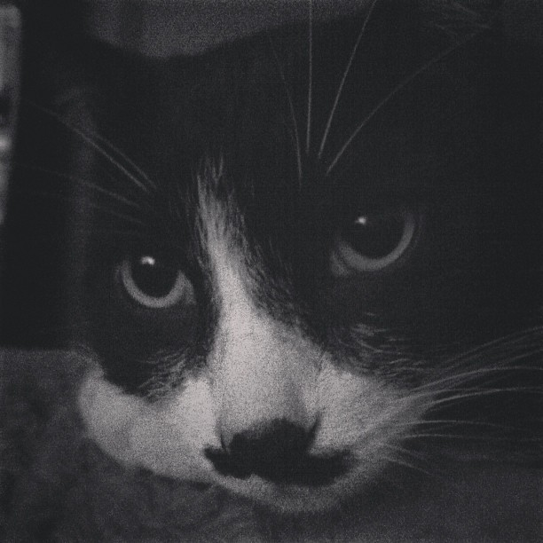 A portrait of Louie #cat #kitty #kitler