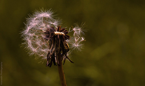 Dandelion // 17 05 13 on Flickr.