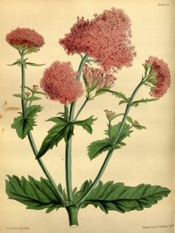 heaveninawildflower:    Centranthus macrosiphon (1853) from Paxton's Flower Garden. John Lindley and Joseph Paxton, drawing by L. A. L. Constans. Wikimedia.