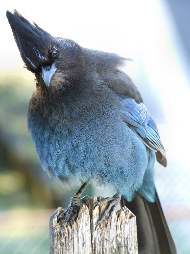 oregon-dreaming:  fairy-wren:  Steller's Jay. Photo by schochin  My favorite bird.