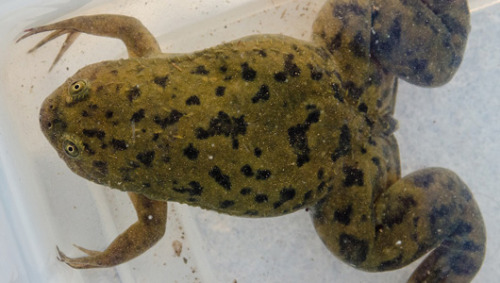 Pregnancy test frog may have spread fatal fungus African clawed frogs were once widely imported and bred by hospitals because it lays eggs when injected with a pregnant woman's urine.
