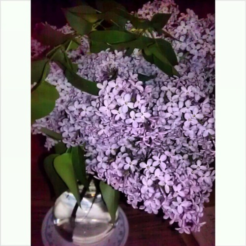Lilacs  from Grandma's Garden ♥ #flowers #lilacs #pretty #beautifulscent #nature #nofilter #purple #green #cute #spring #loveflowers