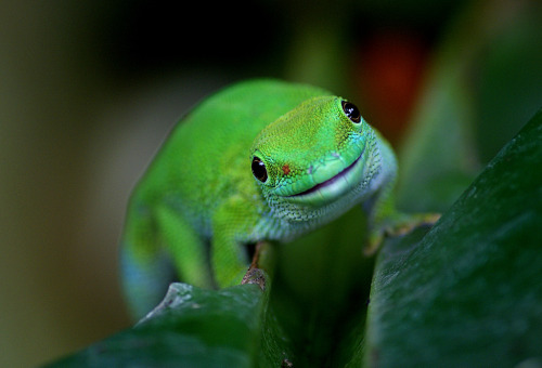 Madagascan Day Gecko (10) (by volvob12b)