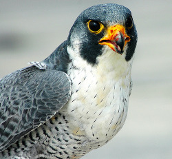 fairy-wren:  Peregrine Falcon (photo by sharpeyesonline)