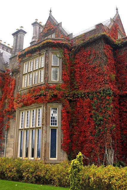 tassels:  Ivy, Muckross House, Killarney, Ireland