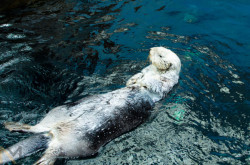 dailyotter:  Floating Sea Otter Looks Long Via martins.nunomiguel