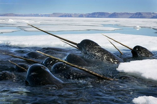 Narwhals, Newfoundland, Canada photo via brainz