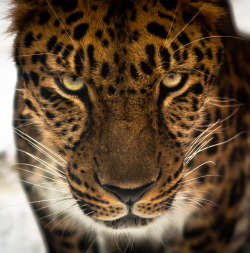 animalkingd0m:  Amur Leopard by Joshua Arlington