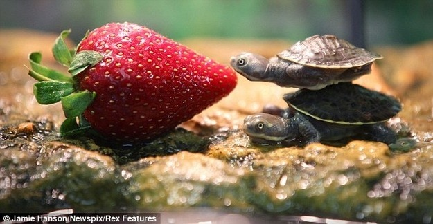 "the-absolute-best-posts:  merosse: TINY TURTLE INVESTIGATORS: THE CASE OF THE LARGE STRAWBERRY GOOD MORNING EVERYONE ""HAVE YOU TRIED BALANCING ON IT""""YES OF COURSE I TRIED BALANCING ON IT JENKINS THIS IS NOT MY FIRST DAY AS A TINY TURTLE INVESTIGATOR"""