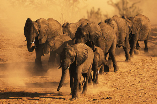 elephants in the dust.