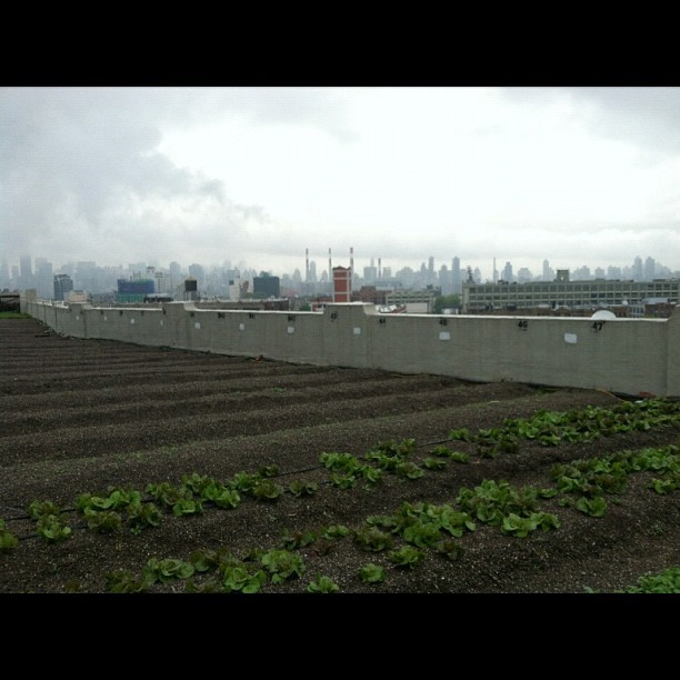 #classtrip Brooklyn grange rooftop farm
