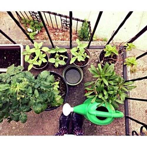 our balcony garden looking good, thanks to @chickenmarcella 's green thumb. 🌿🌻🌷 (at hanging gardens of greenpoint)