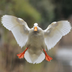 A duck coming in to be fed at a pond in Stockton Heath, Cheshire. Picture: Darren Moston