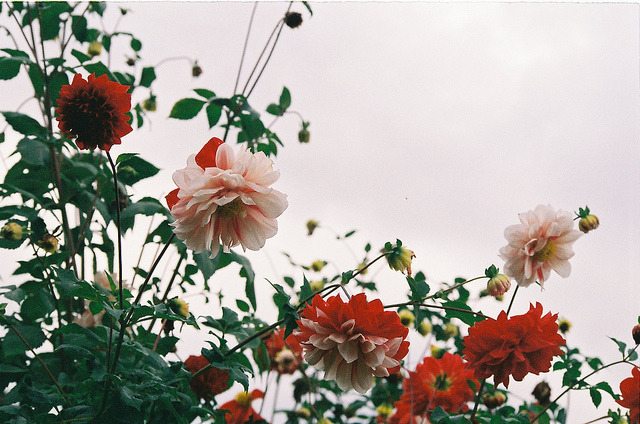 intuire:  Autumn Dahlias by Khánh Hmoong on Flickr.