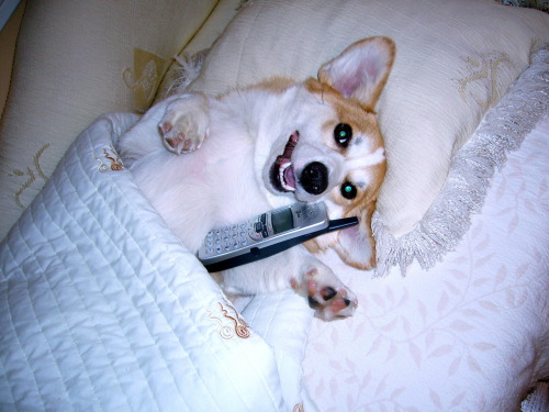 "corgiaddict:  coopthecorg:  ""Hello? Yes, this is dog!""  haaaaaay"