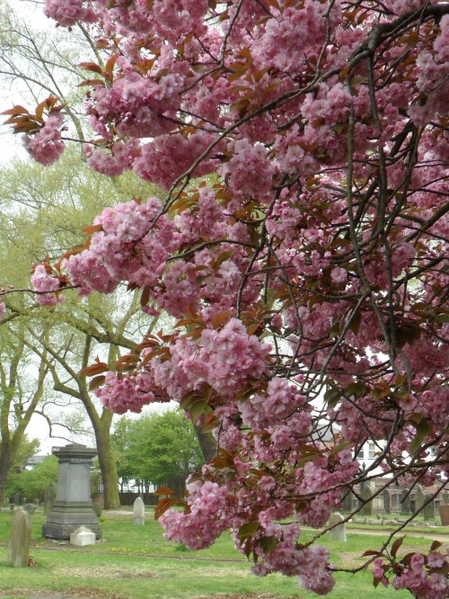 vwcampervan-aldridge:  Pink Cherry Blossom, Warstone Lane Cemetery  The Jewellery Quarter, Birmingham, England All Original Photography by http://vwcampervan-aldridge.tumblr.com